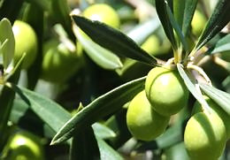 Olive leaves tea - Natural remedies blood pressure