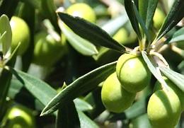 Olive leaves tea - Natural remedies blood pressure
