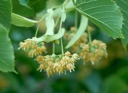 Linden (Tilia Europaea)